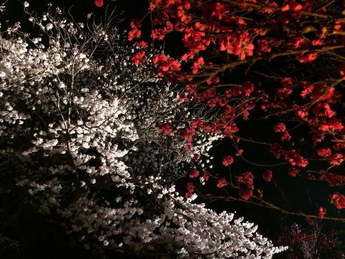 桜とハナモモ