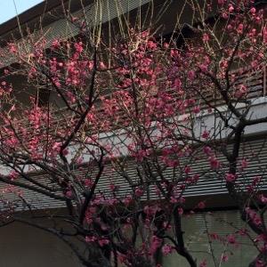 梅の花、紅梅白梅