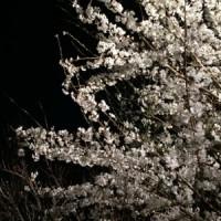 縮景園の桜