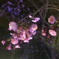 有馬温泉の夜桜