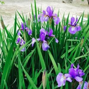 広島市中区縮景園の菖蒲