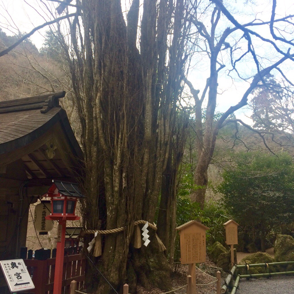 夫婦円満、夫婦連理の桂の木 貴船神社本宮