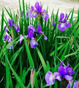 5月に咲く菖蒲の花